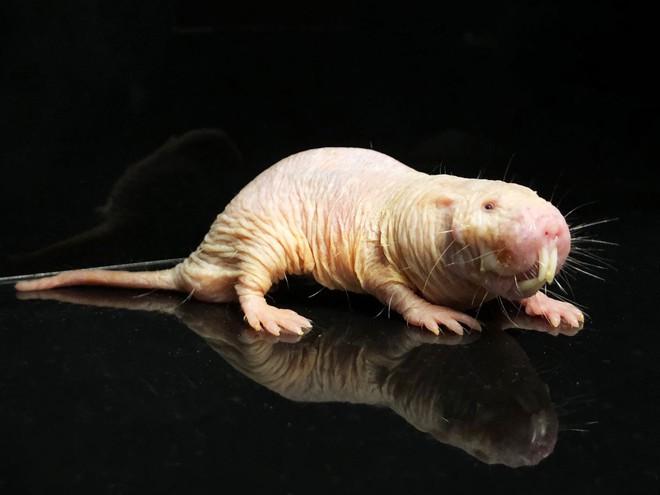 Cuộc đời bí ẩn của con chuột chũi già nhất thế giới: Thách thức tử thần, sắp ăn sinh nhật ở cái tuổi cao gấp 9 lần đồng loại - Ảnh 2.