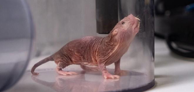 Cuộc đời bí ẩn của con chuột chũi già nhất thế giới: Thách thức tử thần, sắp ăn sinh nhật ở cái tuổi cao gấp 9 lần đồng loại - Ảnh 6.