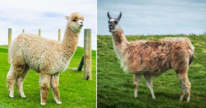 Những loài động vật mới nhìn qua có thể bạn sẽ nhầm lẫn chúng với nhau - Ảnh 5.