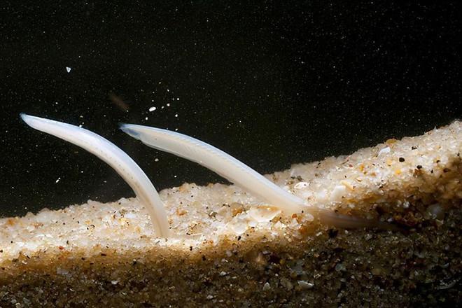 Không đầu, không tim, không xương, cá Văn Xương có thể tồn tại được suốt 500 triệu năm cho tới tận ngày nay - Ảnh 2.