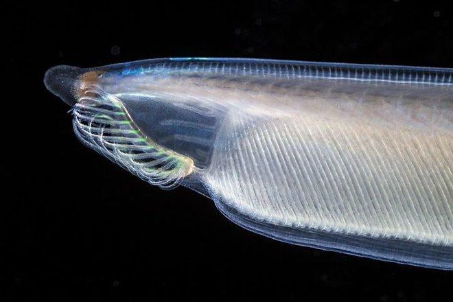 Không đầu, không tim, không xương, cá Văn Xương có thể tồn tại được suốt 500 triệu năm cho tới tận ngày nay - Ảnh 5.