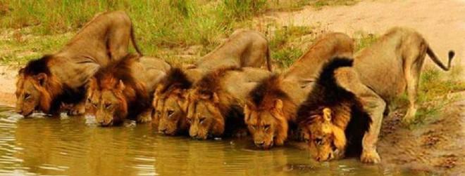 Mapogo: Liên minh 6 con sư tử đực thống lĩnh đồng cỏ Châu Phi - Ảnh 5.