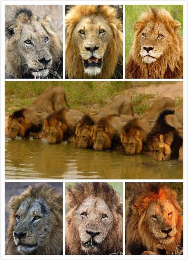Mapogo: Liên minh 6 con sư tử đực thống lĩnh đồng cỏ Châu Phi - Ảnh 3.