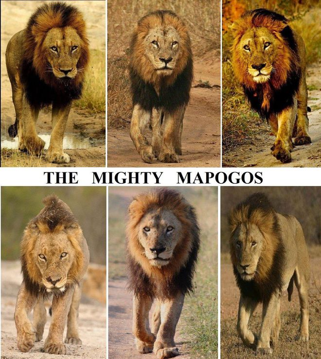 Mapogo: Liên minh 6 con sư tử đực thống lĩnh đồng cỏ Châu Phi - Ảnh 4.