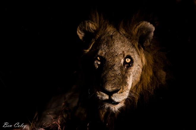 Mapogo: Liên minh 6 con sư tử đực thống lĩnh đồng cỏ Châu Phi - Ảnh 8.