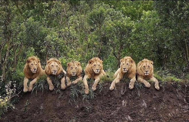 Mapogo: Liên minh 6 con sư tử đực thống lĩnh đồng cỏ Châu Phi - Ảnh 2.