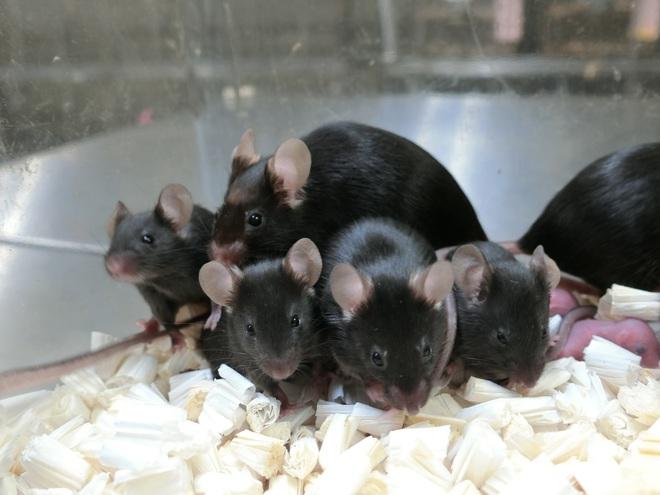 Sau gần sáu năm trên trạm vũ trụ, tinh trùng chuột đông lạnh tạo ra những chú chuột con khỏe mạnh - Ảnh 3.