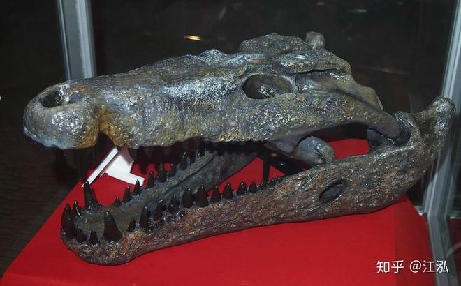 Phát hiện loài cá sấu cổ đại tại Australia có khả năng chạy nhanh trên cạn cách đây 40.000 năm - Ảnh 4.