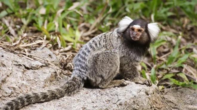 Gen con người tiêm vào khỉ đã khiến cho bộ não của chúng đã phát triển to hơn và khỏe hơn - Ảnh 4.