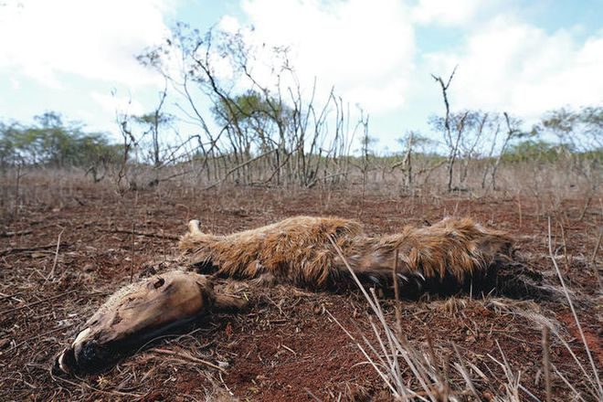 Loài hươu đốm đã xâm lăng Hawaii như thế nào? - Ảnh 6.