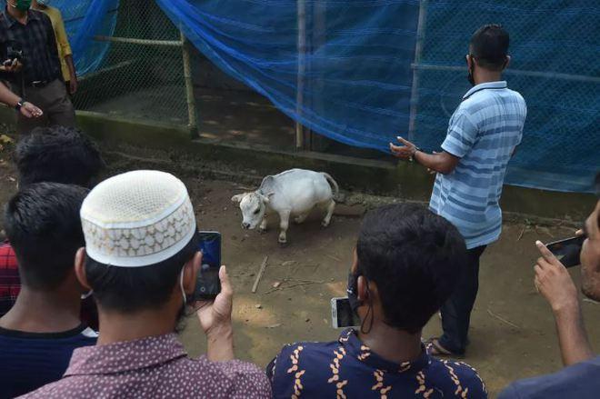 Bất chấp Covid-19 đang bùng phát, dân Bangladesh đổ xô đi chụp ảnh selfie với con bò nhỏ nhất thế giới - Ảnh 1.