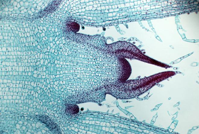 Giải mã được bí ẩn: Làm cách nào các tế bào thực vật biết thời điểm ngừng phát triển - Ảnh 1.