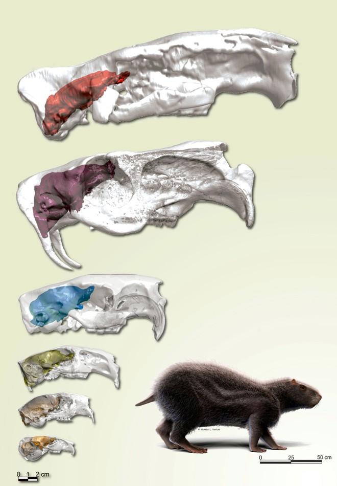 Loài chuột khổng lồ to như con người nhưng não thì bé tí này từng thống trị Brazil thời tiền sử - Ảnh 6.