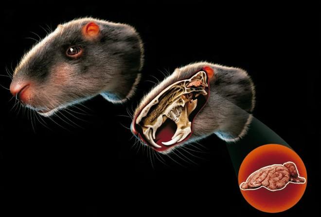 Loài chuột khổng lồ to như con người nhưng não thì bé tí này từng thống trị Brazil thời tiền sử - Ảnh 7.