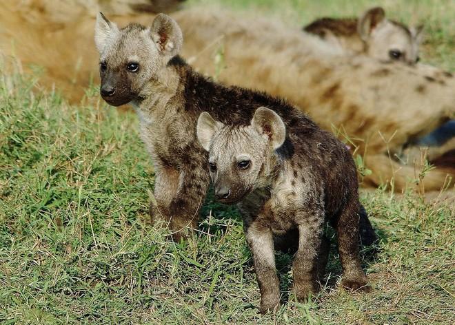 Có mặt trên 1/3 dân số, loài ký sinh trùng thao túng hành vi này khiến linh cẩu không biết sợ, hung hăng lại gần sư tử - Ảnh 3.
