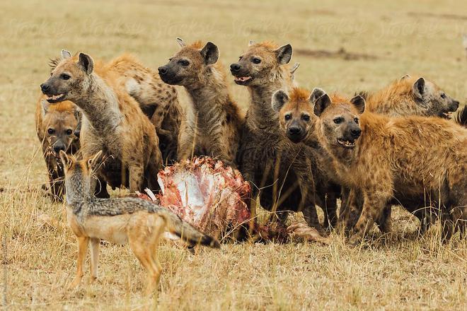 Có mặt trên 1/3 dân số, loài ký sinh trùng thao túng hành vi này khiến linh cẩu không biết sợ, hung hăng lại gần sư tử - Ảnh 1.