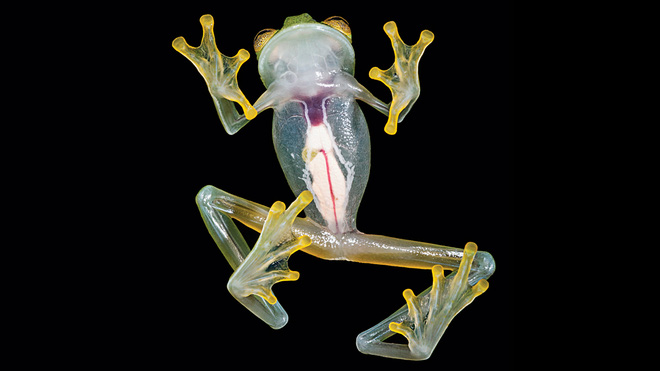 Quay được video loài bạch tuộc thủy tinh cực hiếm với thân mình trong suốt, thấy cả nội tạng - Ảnh 2.