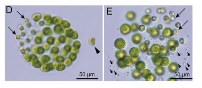 Phát hiện mới: tảo cũng có thể mang giới tính thứ ba - Ảnh 1.