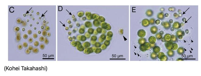 Phát hiện mới: tảo cũng có thể mang giới tính thứ ba - Ảnh 2.