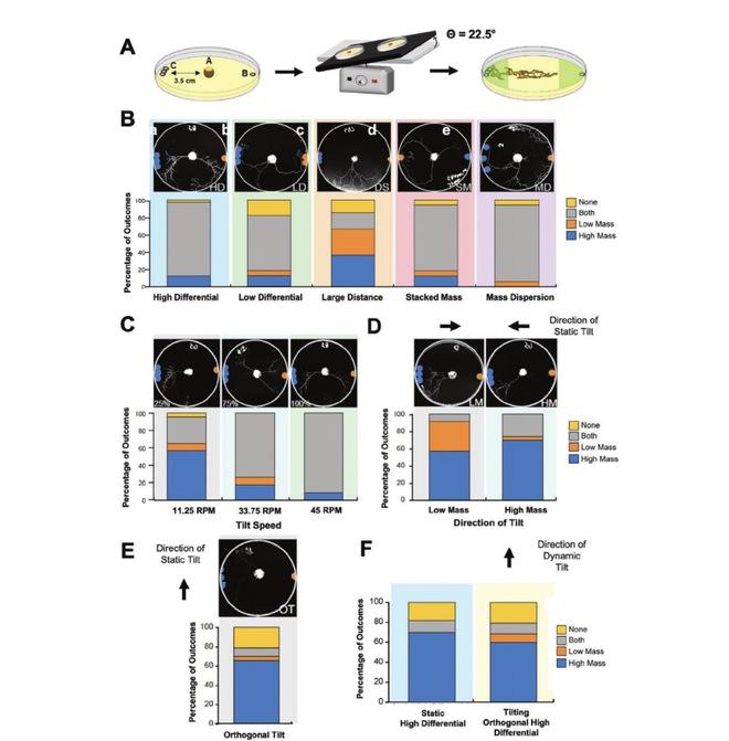 Loài nấm nhầy không não có thể tự suy nghĩ và đưa ra quyết định theo một cách cực kỳ đặc biệt - Ảnh 5.