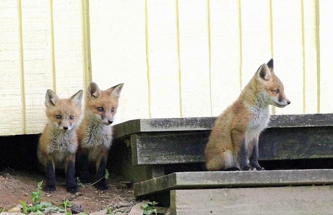 Những con cáo đang theo bước tiến hóa của loài chó, chúng sống gần người hơn và mặt trông cũng cute hơn - Ảnh 6.