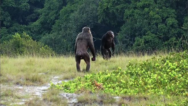 Một bầy tinh tinh ở Châu Phi đã biết tấn công bài bản vào một bầy khỉ đột, con người hãy cẩn thận - Ảnh 1.