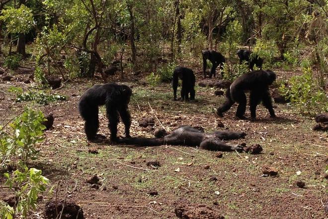 Một bầy tinh tinh ở Châu Phi đã biết tấn công bài bản vào một bầy khỉ đột, con người hãy cẩn thận - Ảnh 7.