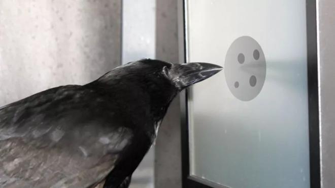 Nghiên cứu mới cho thấy quạ cũng hiểu được khái niệm số 0 - Ảnh 2.