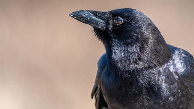 Nghiên cứu mới cho thấy quạ cũng hiểu được khái niệm số 0 - Ảnh 1.
