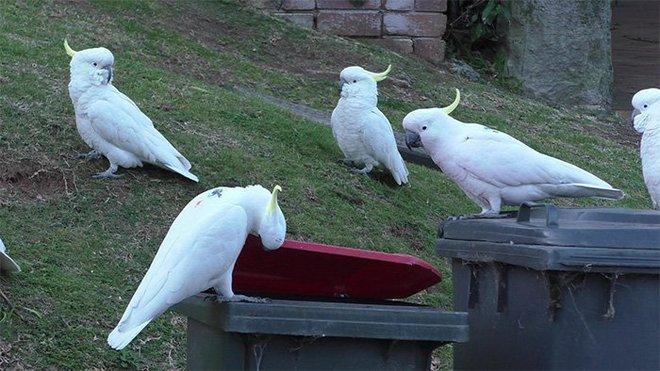 Một con vẹt ở Sydney mở lớp huấn luyện cạy thùng rác cho những con vẹt khác, chúng đích thị là đang tiến hóa - Ảnh 4.