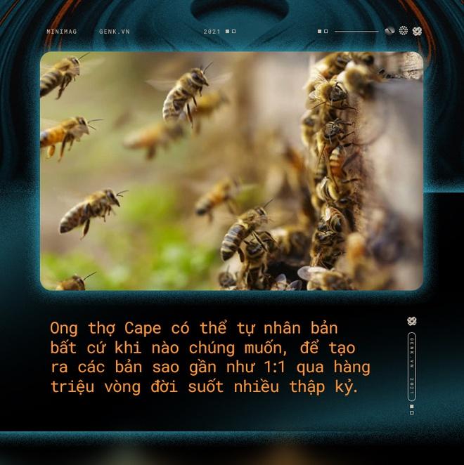 Một con ong ở Châu Phi đã tự nhân bản nó hàng triệu lần kể từ năm 1990 tới nay và tạo ra một đội quân clone bất tử - Ảnh 7.