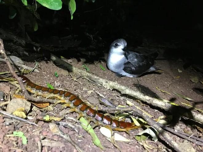 Australia: Rết khổng lồ trên đảo ăn thịt hàng nghìn con chim biển mỗi năm nhưng đó lại là điều tốt - Ảnh 4.