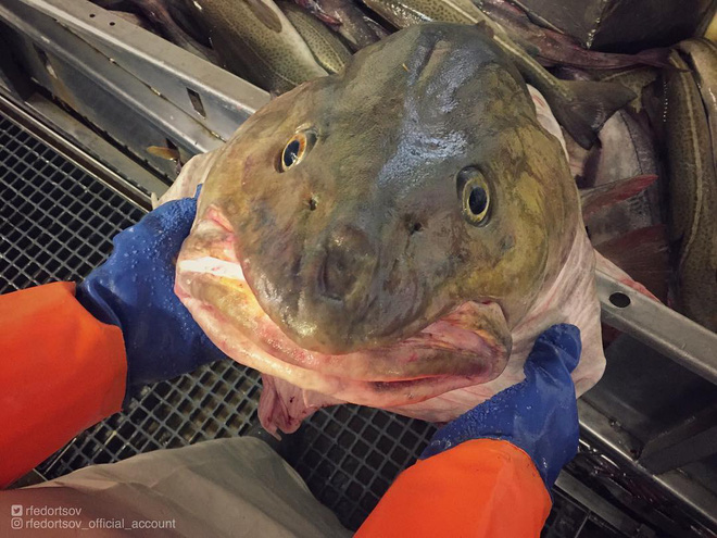 Đây là những quái vật biển sâu được một ngư dân người Nga đưa lên khỏi mặt nước - Ảnh 16.
