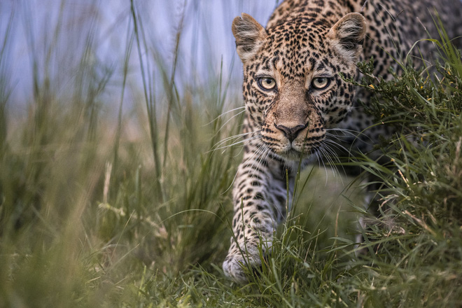 Tận dụng thời gian mắc kẹt ở Kenya do đại dịch, nhiếp ảnh gia tạo ra album ảnh động vật hoang dã ấn tượng - Ảnh 10.