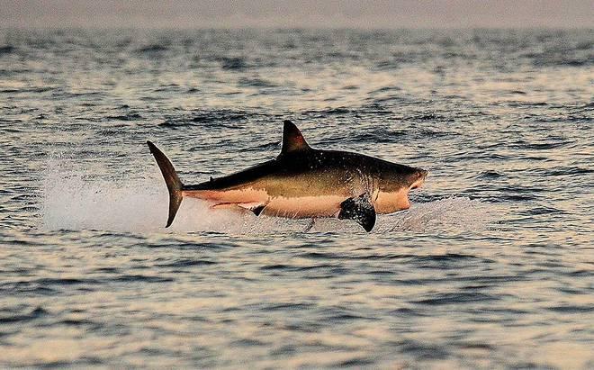 Loài vật khiến cá mập trắng khiếp sợ, hễ nhìn thấy là chúng trốn ngay sang vùng biển khác - Ảnh 1.