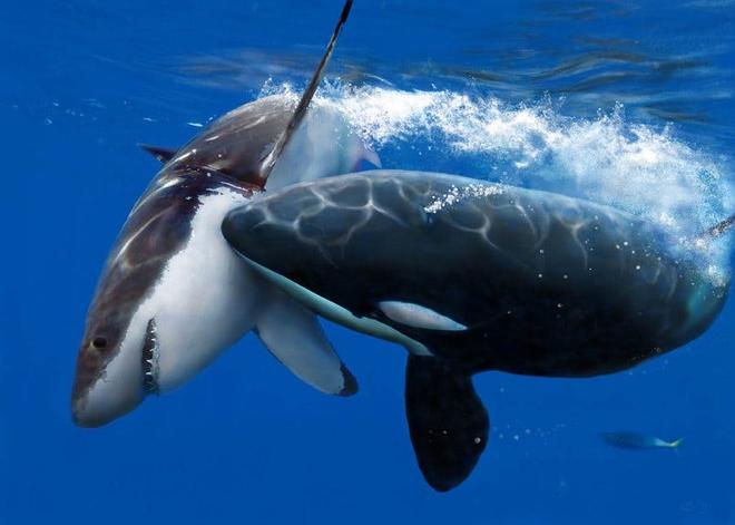 Loài vật khiến cá mập trắng khiếp sợ, hễ nhìn thấy là chúng trốn ngay sang vùng biển khác - Ảnh 4.
