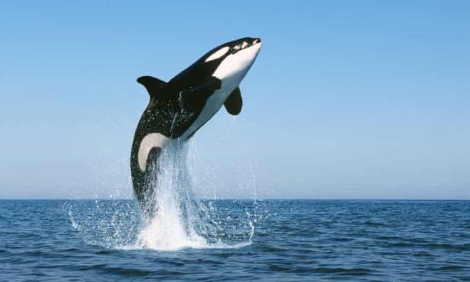 Loài vật khiến cá mập trắng khiếp sợ, hễ nhìn thấy là chúng trốn ngay sang vùng biển khác - Ảnh 9.