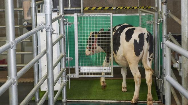 Các nhà khoa học đang dạy những con bò cách dùng nhà vệ sinh - Ảnh 1.