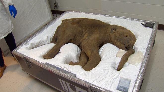 Các nhà khoa học đặt mục tiêu hồi sinh voi ma mút vào năm 2025 - Ảnh 2.