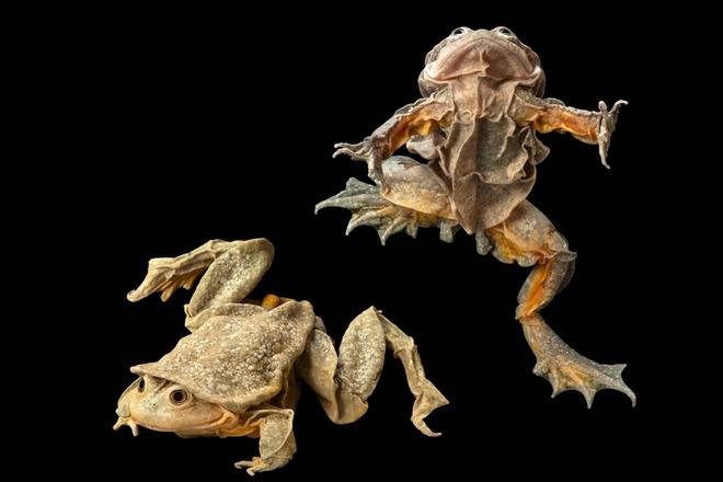 Ếch bìu! Loài ếch khổng lồ Peru đang bị đe dọa nghiêm trọng và chỉ sống ở hồ Titicaca ở biên giới Bolivia và Peru - Ảnh 4.