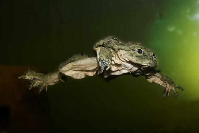 Ếch bìu! Loài ếch khổng lồ Peru đang bị đe dọa nghiêm trọng và chỉ sống ở hồ Titicaca ở biên giới Bolivia và Peru - Ảnh 6.