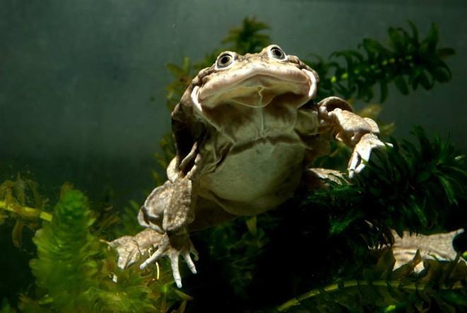Ếch bìu! Loài ếch khổng lồ Peru đang bị đe dọa nghiêm trọng và chỉ sống ở hồ Titicaca ở biên giới Bolivia và Peru - Ảnh 5.