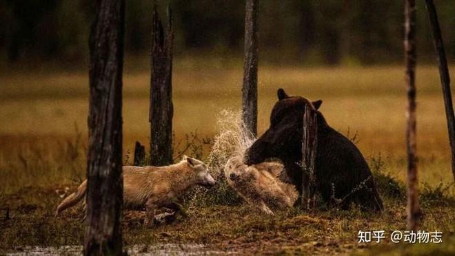 Các nhà khoa học lần đầu ghi nhận cảnh tượng chó sói dàn cảnh để bắt gấu nâu - Ảnh 7.