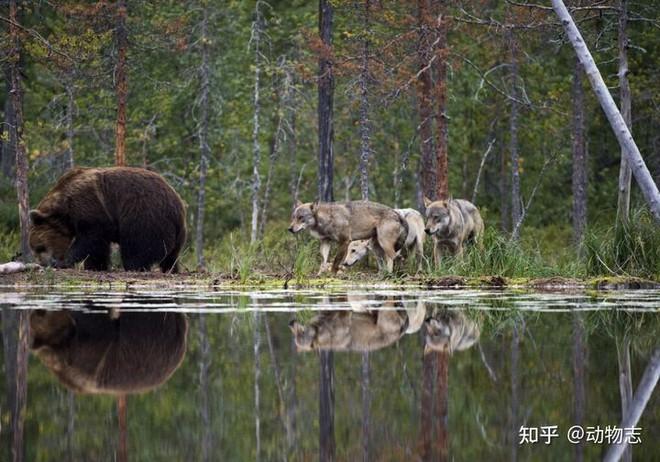 Các nhà khoa học lần đầu ghi nhận cảnh tượng chó sói dàn cảnh để bắt gấu nâu - Ảnh 6.