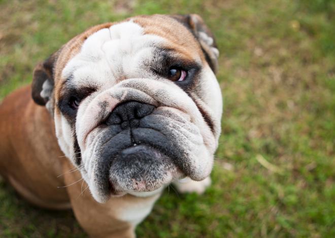 Đâu là những giống chó khó dạy nhất? - Ảnh 9.