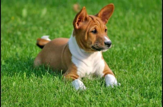 Đâu là những giống chó khó dạy nhất? - Ảnh 10.