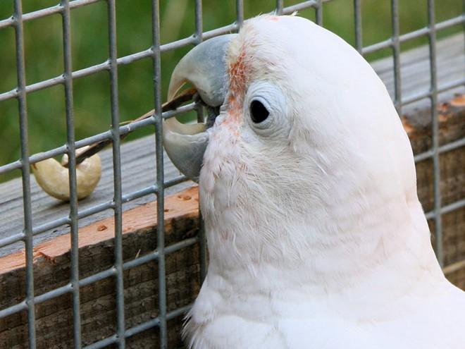 Phát hiện ra loài vẹt mào có khả năng chế tác và sử dụng một bộ công cụ làm từ gỗ - Ảnh 2.
