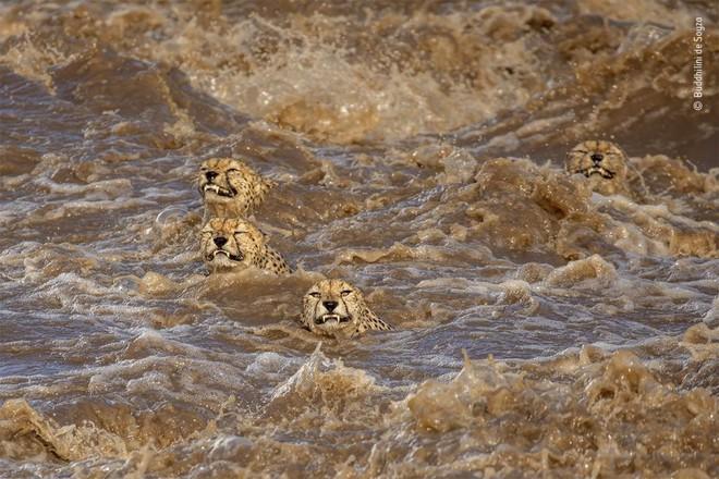Câu chuyện nghẹt thở đằng sau bức ảnh bầy báo gêpa bơi trong nước lũ, liệu chúng có thành công? - Ảnh 1.