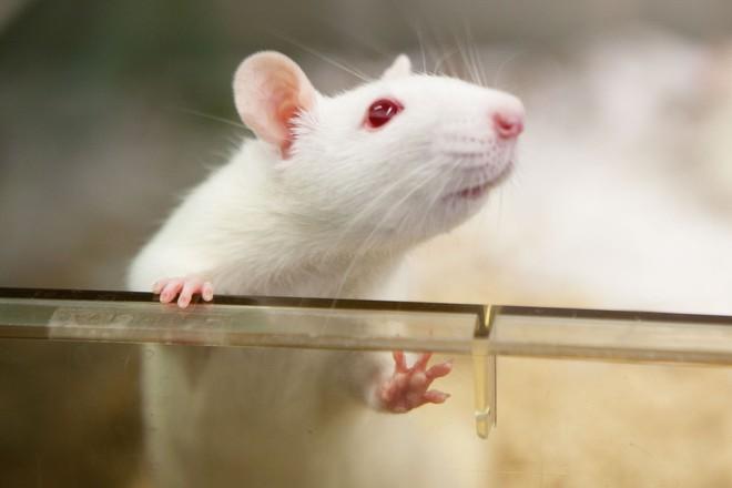 Có dữ liệu trên chuột chỉ ra mối liên hệ giữa bức xạ điện thoại di động và sự phát triển của hai loại ung thư: ung thư não và một loại ung thư trong tim