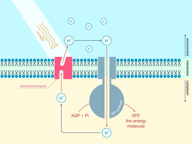 Bằng cách sử dụng năng lượng của proton (H+), các nhà khoa học tạo ra phân tử mang năng lượng ATP từ ADP (adenosine diphosphate) và Pi (phosphate vô cơ). Lớp chất béo được hiển thị với màu xanh.